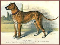 """Cid Campeador"" held undisputed sway in England after the death of Cedric the Saxon. Notice the white chest and toes. Cid Campeador won the Great Dane Cup 3 times in succession, and at Brussels in 1885 in a class comprising the best dogs of Germany, Austria, France, Holland and Belgium, he carried off the first prize and prix d'honneur."