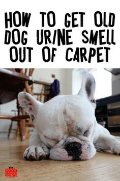 How to Get Old Dog Urine Smell Out of Carpet. Dog pee smell in the house is hard to get out. Check out these pet parent cleaning hacks to get out the smell. Cleaning Pet Urine, Pet Odors, Urine Odor, Cleaning Carpet Pet Stains, Pet Urine Cleaner, Dog Urine Remover, Removing Dog Urine Smell, Cleaning Wood, Odor Remover