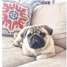 Saturdaze  #pugs #pug #puppy #puppies #pugsnotdrugs #cute #dog #cupcakepugs #pugsofIG #thetomcoteshow #pugloversclub #pugbasement #qtpugs #worldofpug #babypuggies #frankthepughero #mopsi #pugnation #pugloversofinsta #mops #hoboken #nj #borislovesfriends #pupperpic #radhound #qtpugs #pugpuppy #pugnation #puglove