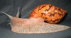 Giant Ghana Snail - Is probably bigger than you thought it was going to be and has a voracious appetite but some people like to dine on the snails themselves. Iron Lion Zion, African Tribes, Snails, West Africa, Ghana, Animal Pictures, Thinking Of You, Facts, Animals