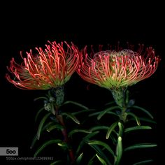 """DOUBLE FUN MORE FLOWER-FIREWORKS... - Pinned by Mak Khalaf The Leucospermum 'Veld-fire' are proteas and are indigenous to South Africa. Some of the most spectacular species in the diverse vegetation are the proteas of the Cape region . Protea is both the botanical name and the English common name of a genus of flowering plants sometimes also called sugarbushes (SUIKERBOSSIE). It is the stiff protruding styles of the flowers which are the source of the common name """"pincushion"""" for this…"""