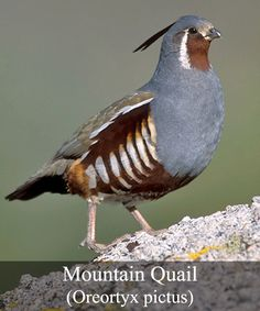 Mountain Quail - mountainous chaparral W. of Rocky Mountains, from USA to Baja peninsula, Mexico. Introduced to B. Canada & some areas of Washington state, USA Most Beautiful Birds, Pretty Birds, Animals Beautiful, Cute Animals, Wild Animals Videos, Draw On Photos, Game Birds, Cute Animal Pictures, Bird Species