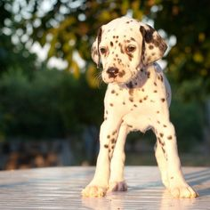 💜💗💜 Love Dalmations💜💗💜 young dalmatian puppy finding his legs Cute Puppies, Cute Dogs, Dogs And Puppies, Doggies, Top 10 Dog Breeds, D Is For Dog, Super Cute Animals, Adorable Animals, Puppy Find