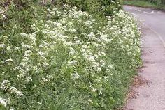 Cow parsley - edible plants for Leopard Tortoise (all)