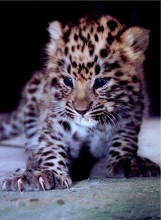 Amur leopard cub at Olomouc Zoo, Czech Republic (picture by M. Most Endangered Animals, Rare Animals, Cute Baby Animals, Animals And Pets, Endangered Species, Wild Animals, Cute Kittens, Cats And Kittens, Siamese Cats