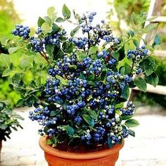potted blueberries