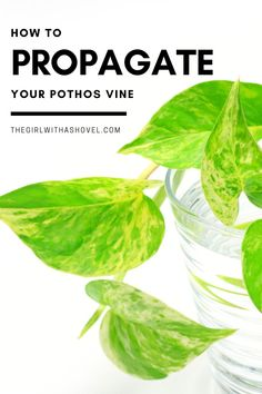 Here's the fail-proof way to grow your own pothos vine from cuttings! I'll also give you some awesome tips for both propagating in soil and propagating in water so you'll be successful either way! PROPAGATE YOUR POTHOS THE EASY WAY!!! How to Propagate Pothos | Propagating Pothos | Pothos Plant Propagation | Pothos Propagating | How to Grow Pothos | Pothos Water Propagation | Pothos Plant Propagation in Water | Pothos Plant Propagation in Soil | Propagating Pothos in Water | Pothos Vine, Pothos Plant, Succulent Potting Mix, Potting Soil, Plant Propagation, Cuttings, Easy Plants To Grow, Cool Plants, Pothos In Water