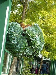 hanging basket succulent