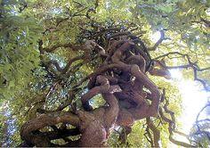 La tuyauterie du Sophora - 30 arbres insolites - L'Internaute Nature