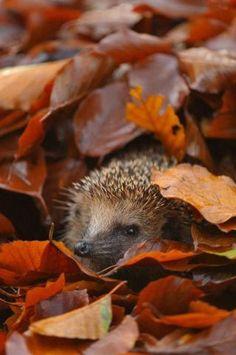 Hedgehog in Autumn (Image via Pinterest)