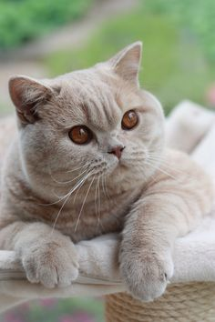 British Shorthair. #Cats