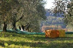"""Il 16 ottobre tutti in campagna per """"La Notte dell'Extravergine"""" La prima raccolta di olive al chiaro di luna in Puglia si terrà mercoledì 16 ottobre, a partire dalle 20, ad Ugento, in località""""Cisterna del serpe"""", presso un uliveto dell'azienda agricola Forestaforte. http://www.pugliaglam.tv/cultura-territorio/item/790-il-16-ottobre-tutti-in-campagna-per-la-notte-dellextravergine"""