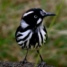 The New Holland Honeyeater is a honeyeater species found throughout southern Australia. Description from pinterest.com. I searched for this on bing.com/images