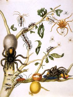 "genusspecies:     by Maria Sibylla Merian.    ""And artist Maria Sibylla Merian depicts a tarantula carrying a hummingbird, a meal too grand for any real spider.""  Love this one. I hope Maria rises from the grave and sues Nature Publishing Group for libel."