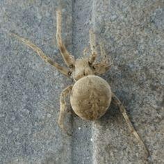 Spider Id, Common House Spiders, Cebu City, Florida, Lanai, Sailor, Yard, Gardening, Brown