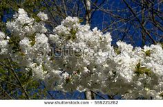 Find White Blossom Tree stock images in HD and millions of other royalty-free stock photos, illustrations and vectors in the Shutterstock collection. Thousands of new, high-quality pictures added every day. White Blossom Tree, Blossom Trees, Photo Editing, Royalty Free Stock Photos, Illustration, Pictures, Photography, Image, Photos