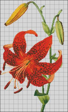 tiger lily1