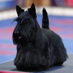 The silhouette of the Scottish Terrier is one of the most recognizable in dogdom.