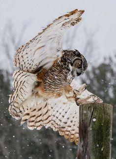 Tawny Owl landing by Andy Ingram