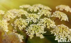 "Download the royalty-free photo ""Queen Anne's Lace flowers. cow parsley in sunshine macro photography"" created by stillforstyle at the lowest price on Fotolia.com. Browse our cheap image bank online to find the perfect stock photo for your marketing projects!"