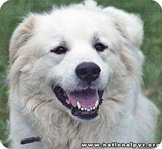 4/29/15 Beacon, NY - Great Pyrenees. Meet Beauty - new!, a dog for adoption. http://www.adoptapet.com/pet/12855970-beacon-new-york-great-pyrenees