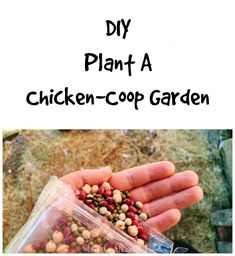 How to plant a garden in your chicken coop for your backyard chickens to feed on! #chickens #homestead #garden #backyardchickens