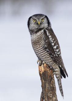 Northern Hawk Owl by Dominic Roy on 500px