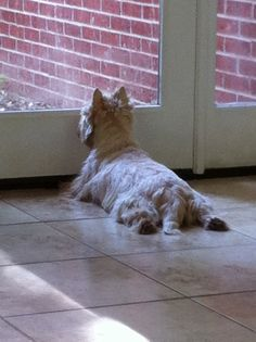 Cairn Terrier on the lookout