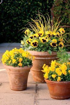 Pansies - 10 Flowers That Thrive in Full Sun - Southernliving. Pansies are the easiest way for new and experienced gardeners to bring cheer to a fall garden. So long as they have full sun, pansies will thrive in flowerbeds or containers. Full Sun Container Plants, Full Sun Plants, Container Flowers, Full Sun Garden, Ivy Plants, Patio Plants, Plants That Love Sun, Fall Potted Plants, Full Sun Annuals