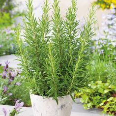 Sage Herb, Rosemary Herb, Lavender Flowers, Purple Flowers, Seed Shop, Mosquito Repelling Plants, Pepper Seeds, Seed Catalogs, Herb Seeds