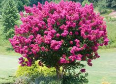 Pink Velour Crape Myrtle - Lagerstroemia indica for Sale - Brighter Blooms Nursery Plants, Myrtle Tree, Lagerstroemia, Fast Growing Trees, Perennials, Shrubs, Growing Tree, Landscape, Crepe Myrtle Trees