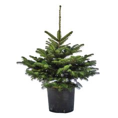 Brad de Craciun in Ghiveci - www.lamaisondesjardins.ro #brad #craciun #ghiveci #baneasa #saftica #bucuresti #romania #christmass #tree #fir #pot #celebration #winter
