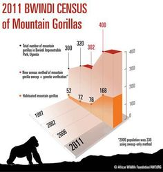 The 2011 census that found a minimum of 400 Mountain gorillas in Uganda's Bwindi Impenetrable National Park — boosting world-wide totals to an estimated 880 — is spurred by steady population growth, as shown in this graphic from the African Wildlife Foundation (AWF). http://on.fb.me/TZ3HDz