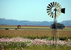 Cosmos flowers in the Free State, South Africa