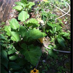 5 rhubarb plants from Dad