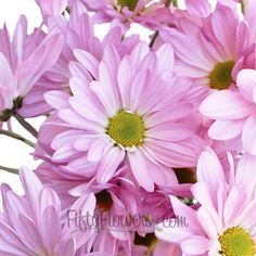 Antique Pink Daisy Flower | FiftyFlowers.com; 12 Bunches for $99.99; free shipping