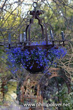 Blue Lobelia in a rusty chandelier hanging planter