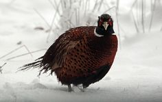 A pheasant stands in snow near Dulverton on Exmoor. After unseasonably mild winter weather, some parts of the UK woke to a covering of snow as a cold spell of weather sets in Big Freeze, Snow Showers, Uk Weather, Continental Europe, Pheasant, British Isles, Beautiful Birds, Winter Wonderland, Countryside