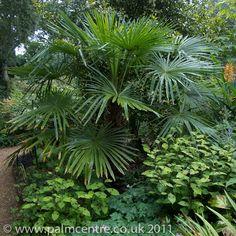 trachycarpus fortunei - Google Search