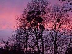 Mistletoe Trees at Dusk