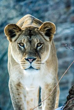 Lioness Has an Eye on Prey. (by Carina McKee). Beautiful Cats, Animals Beautiful, Animals And Pets, Cute Animals, Lioness Tattoo, Gato Grande, Lion And Lioness, Lion Love, Leopards