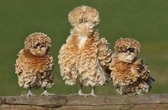 Frizzle Bantum chickens