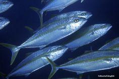 Cá vua - Kingfish