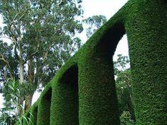 Trees Planet: Cupressocyparis leylandii - Leyland Cypress Leylandii Hedge, Monterey Cypress, Vascular Plant, Evergreen Trees, Common Names, Ornamental Plants, Planting Seeds, Hedges, Backyard