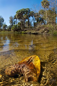 Peace Tooth - :Peace River, Florida