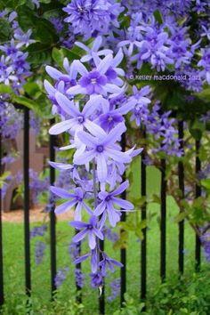 Queen's Wreath, Blue Flowers Garden Love