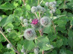 Lopuch plstnatý (Arctium tomentosum)  dvouletá, 60 až 120 cm vysoká bylina.