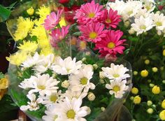 Krysantemum// chrysanthemum morifolium