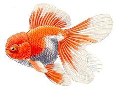 Telescope Oranda, illustration by Merlin Cunliffe, 1990 Goldfish Tattoo, Oranda Goldfish, Watercolor Fish, Pet Fish, Fish Ponds, Beautiful Fish, Japanese Embroidery, Fish Art, Tropical Fish