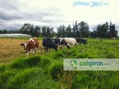 Ganado Holstein Producción de Leche, Sabana de Bogotá
